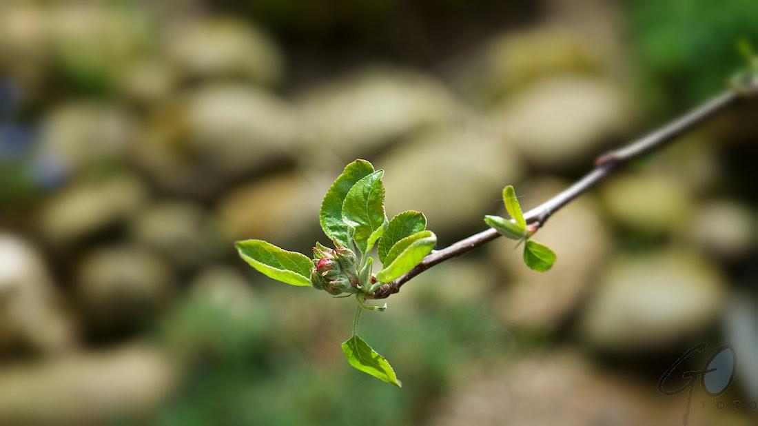 Appelboom in bloei | 112-2016