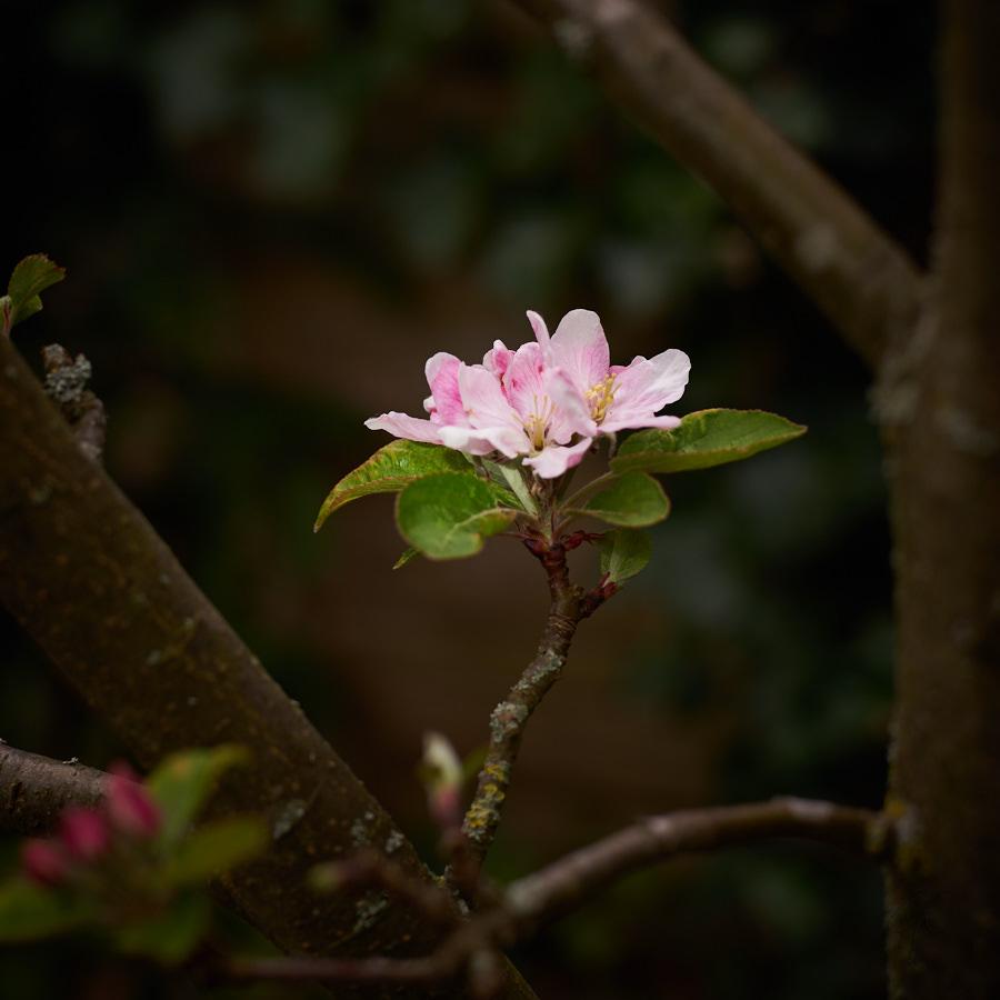 De Appelboom - ©Gerard Oonk 1
