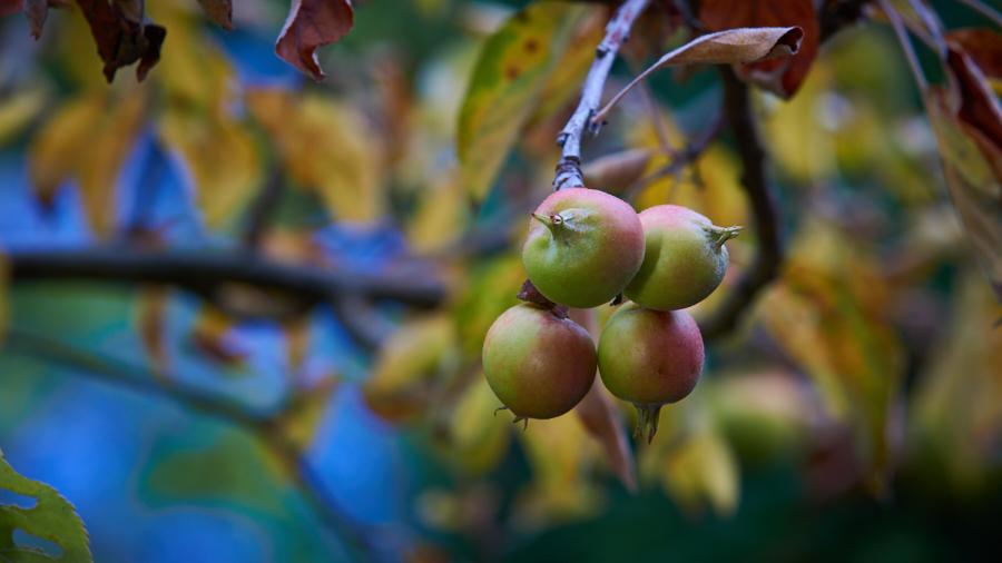 Appelboom levert kleine vruchten in j2019