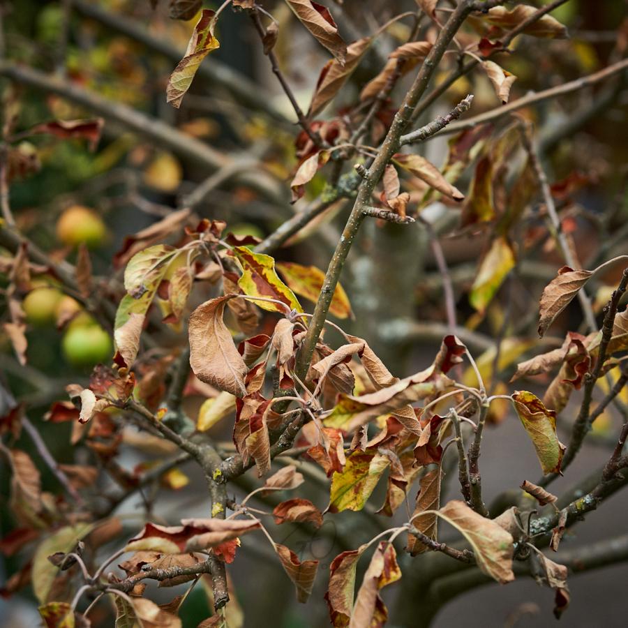 Appelboom is dood - Gerard Oonk