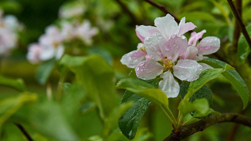 133-2013 Bloesem van de appelboom