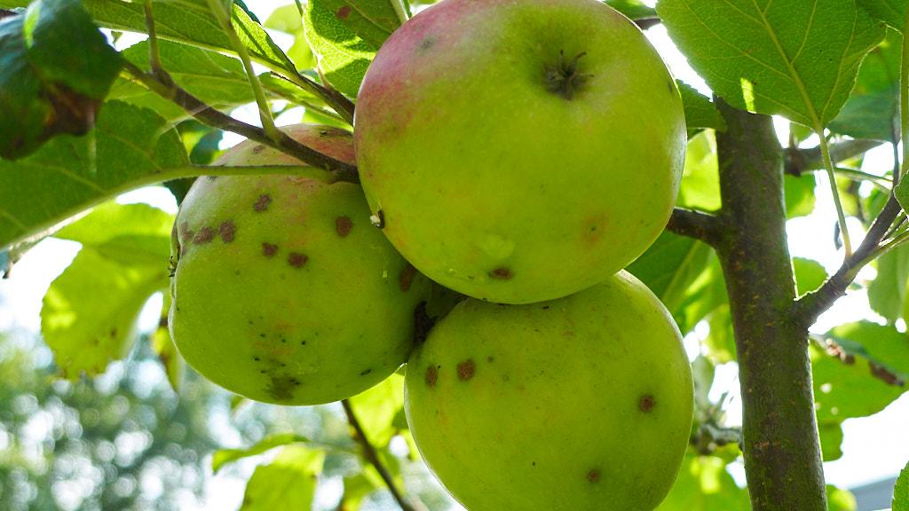 231-2014 Pokdalige appels