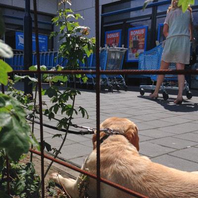 Hond aangelijnd voor AH-supermarkt