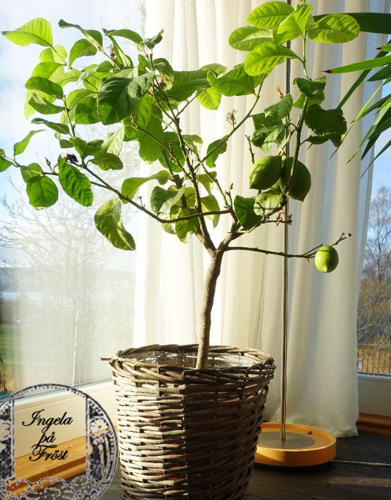 Ett citronträd är ett måste för varje ärligt menad vinterträdgård! Vinterträdgården för liv och lust - för te och citron!