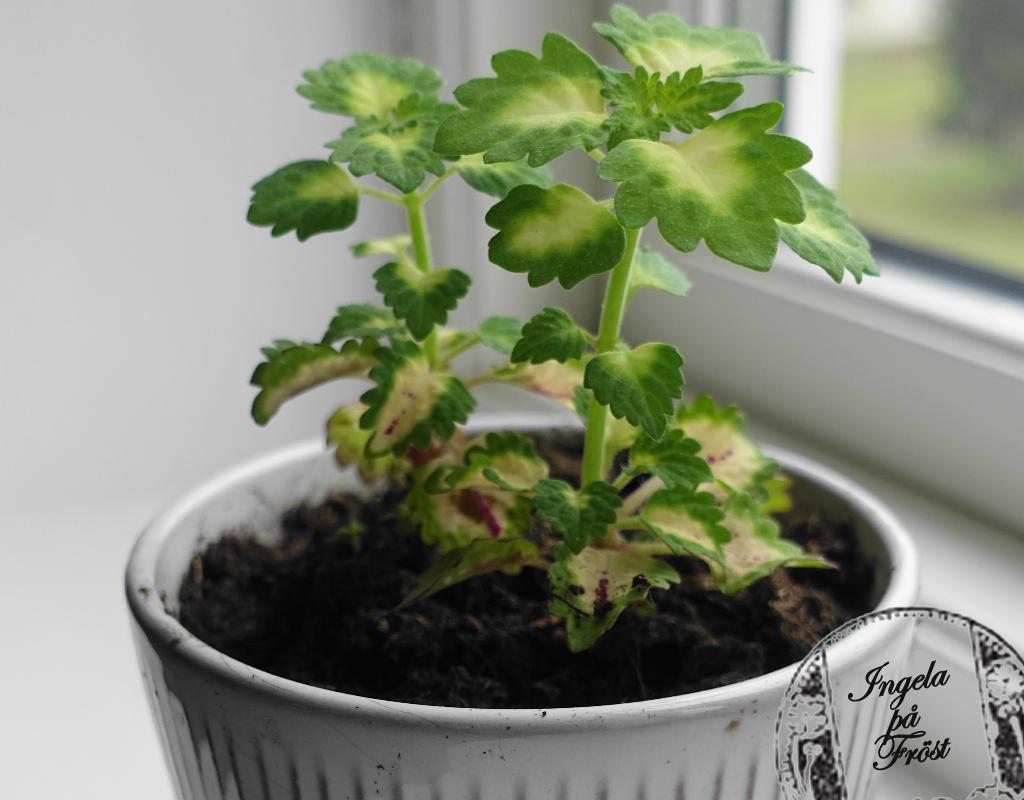 Palettblad som krukväxt inne