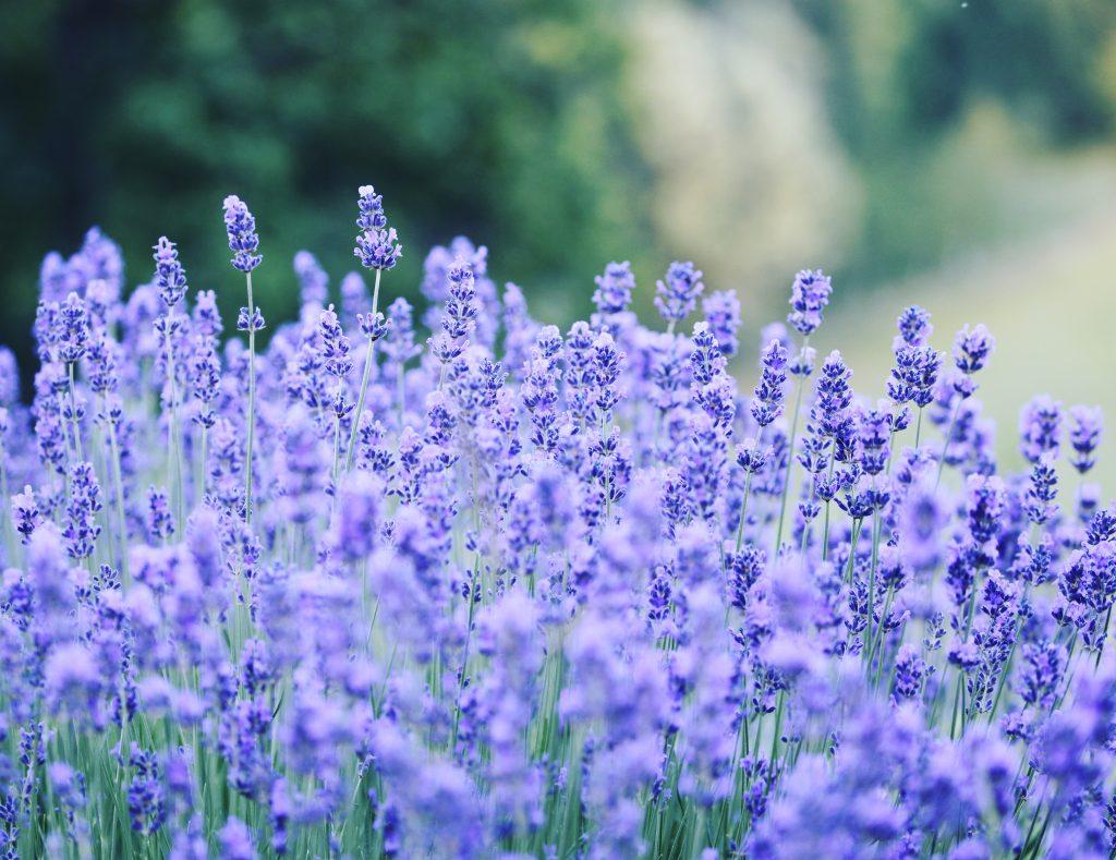 Lavendel. Paradiset där man aldrig gräver i onödan