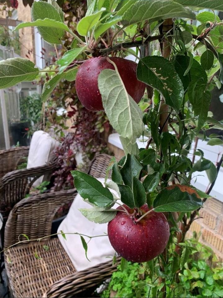 Fantastisk äppelskörd. Odling glädje med grönt i fokus