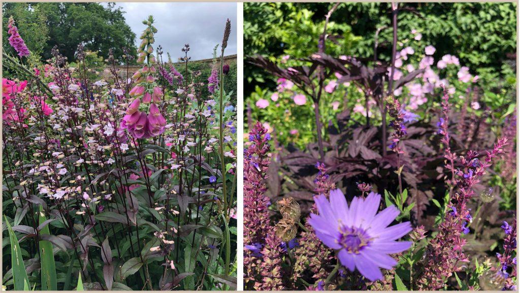 Fingerborgsblomma och gräsfibbla. Cottage garden för  blom- färgälskaren