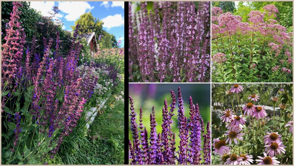 Stäppsalvia, rosenflockel, solhatt. Cottage garden för  blom- färgälskaren