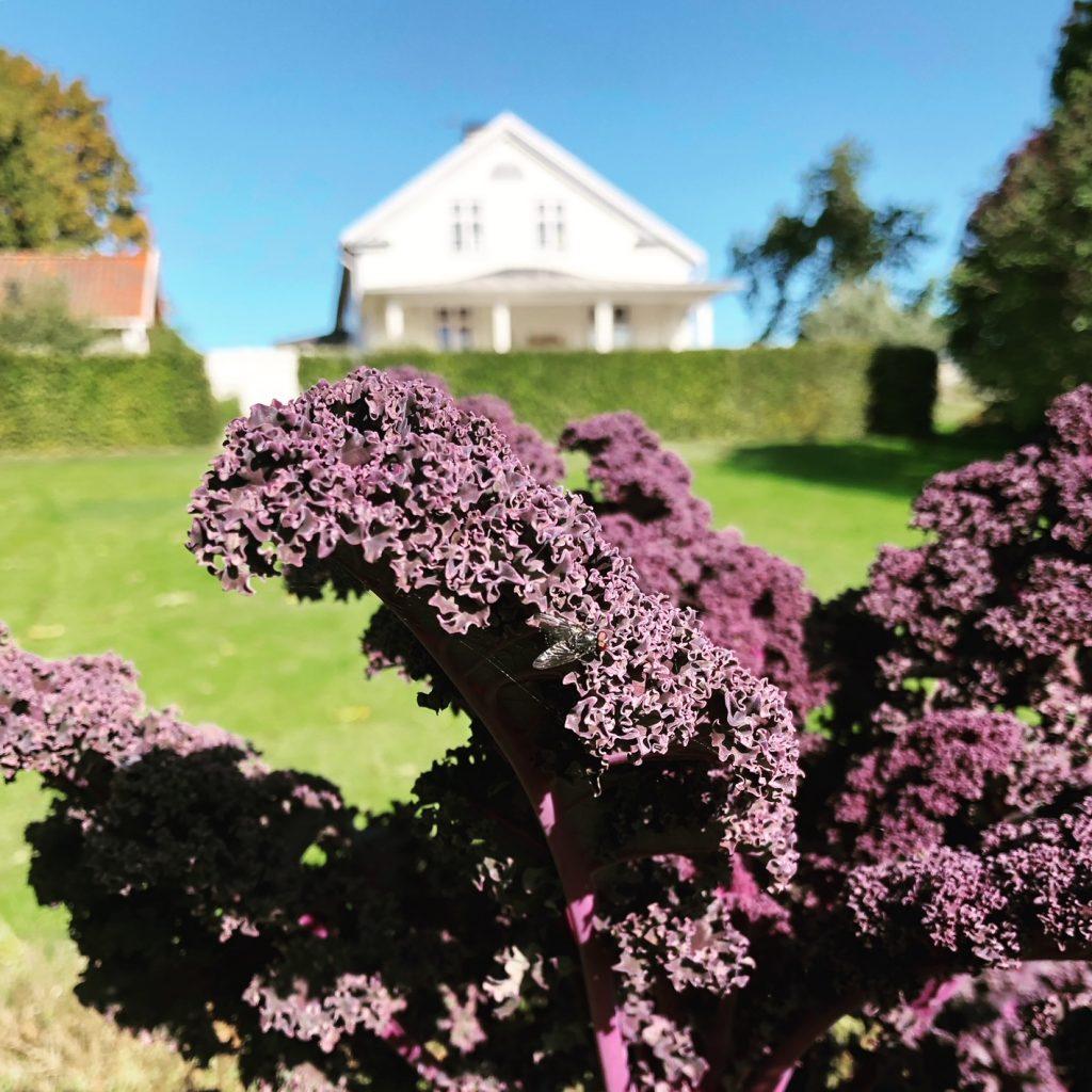 Purpurkål i köksträdgård