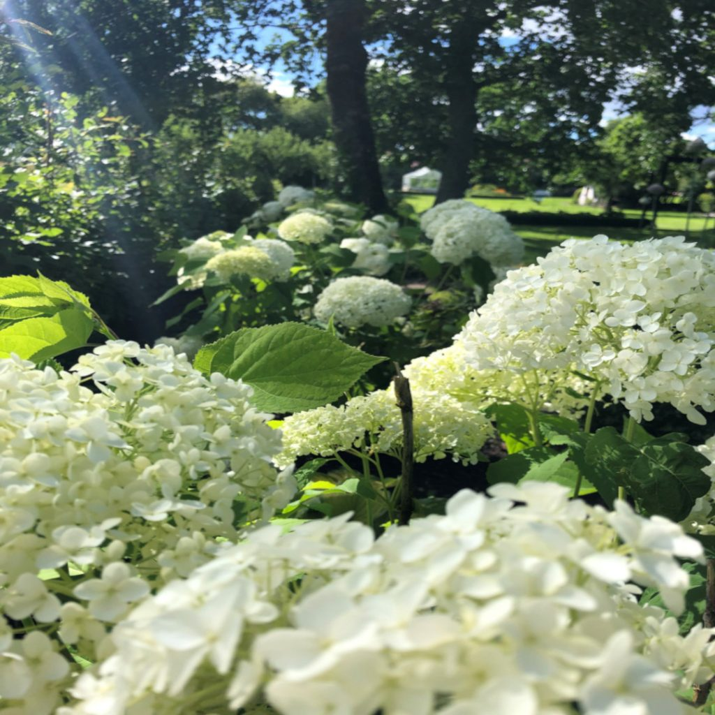 Hortensia. Odling trädgården skribent
