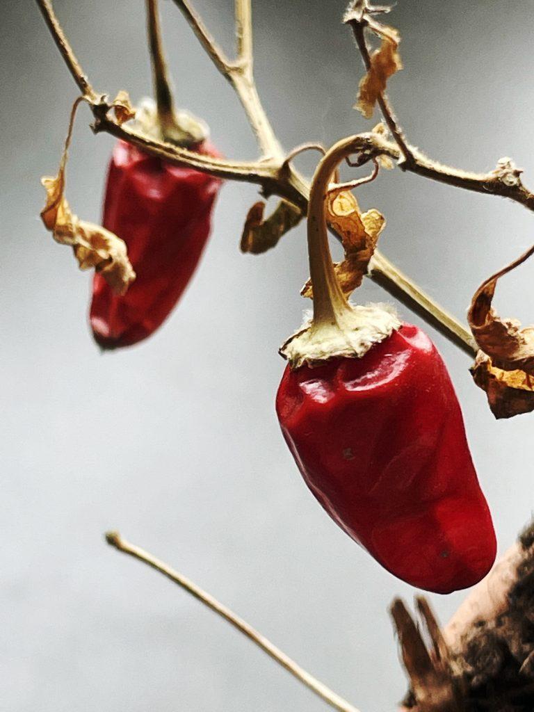 Chili. #odla2021 plantor sår
