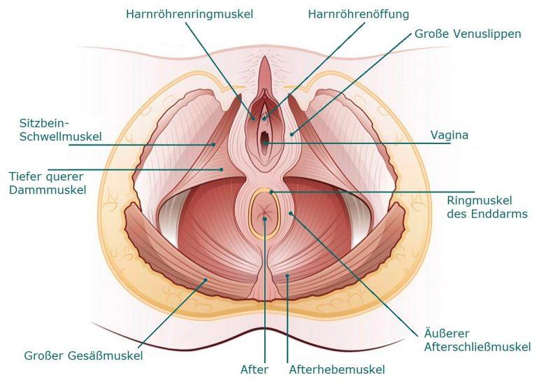 beckenbodenmuskulatur beckenbodenmuskeln weibliche