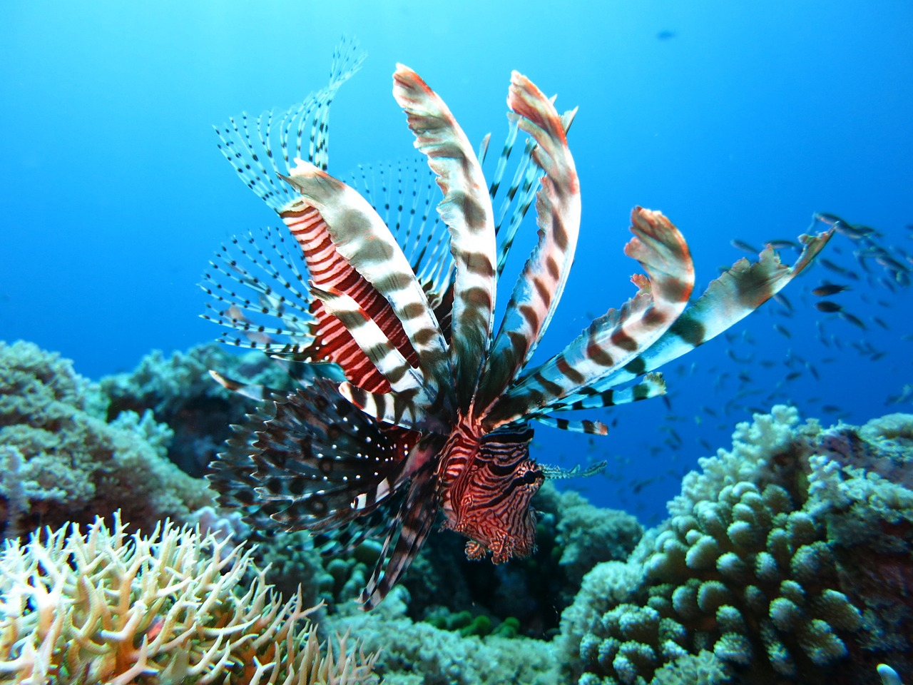 lionfish, scuba diving, underwater-1430225.jpg