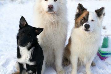 Isländsk fårhund, Samojed