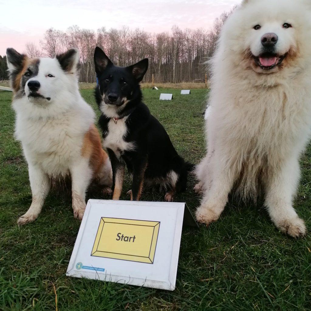 Joker, Joy och Gizmo Isländsk Fårhund och Samojed