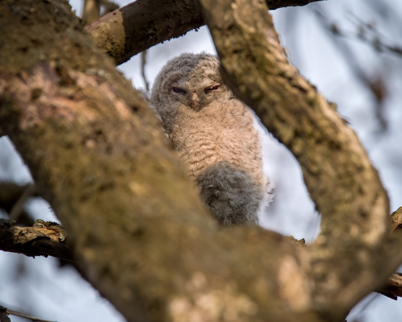 Tawny owl, lehtopöllö