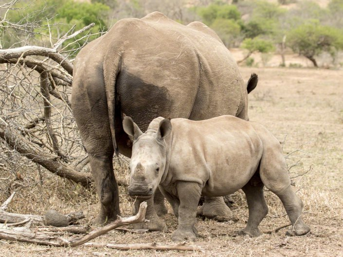 South Africa, white rhino