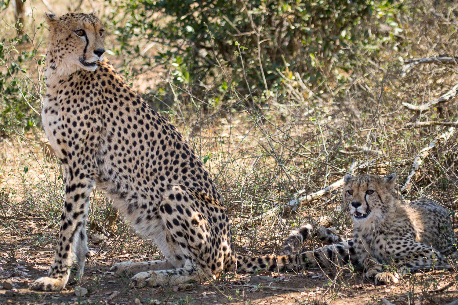 South Africa, cheetah with cub