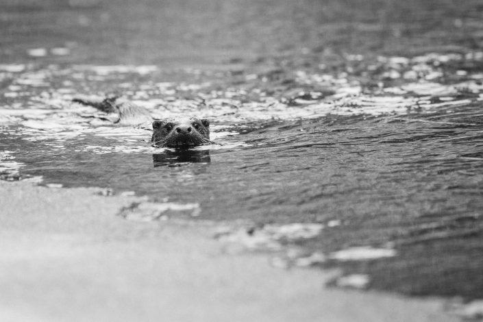 Saukko Otter