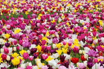 tulips 1405413 360x240 - Dzień Kobiet - siła kobiet