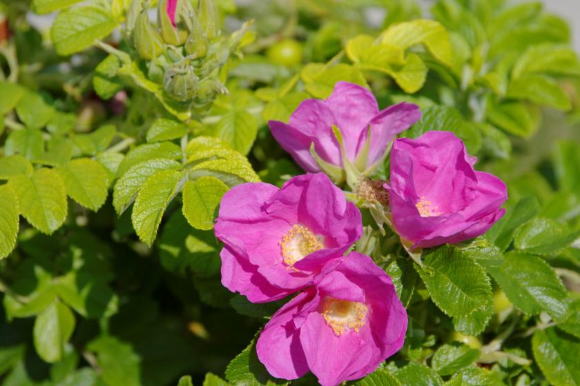 Projekt bez tytulu 1 840x560 - Nalewka z płatków dzikiej róży
