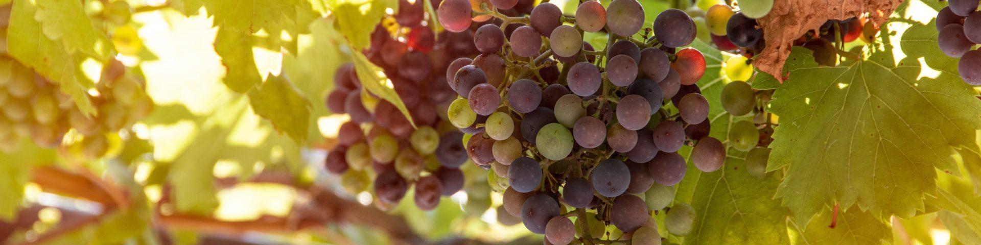 bunch of grapes 4610050 1920x480 - [Wiedza o winie] Co to jest wino?