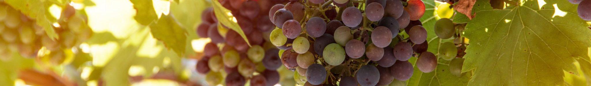 bunch of grapes 4610050 2048x300 - [Wiedza o winie] Co to jest wino?