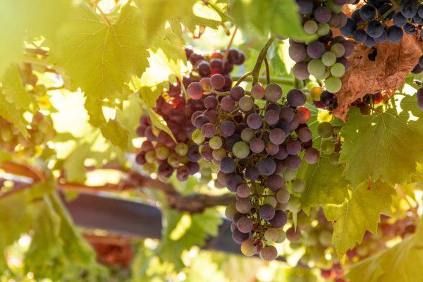 bunch of grapes 4610050 600x400 - [Wiedza o winie] Co to jest wino?