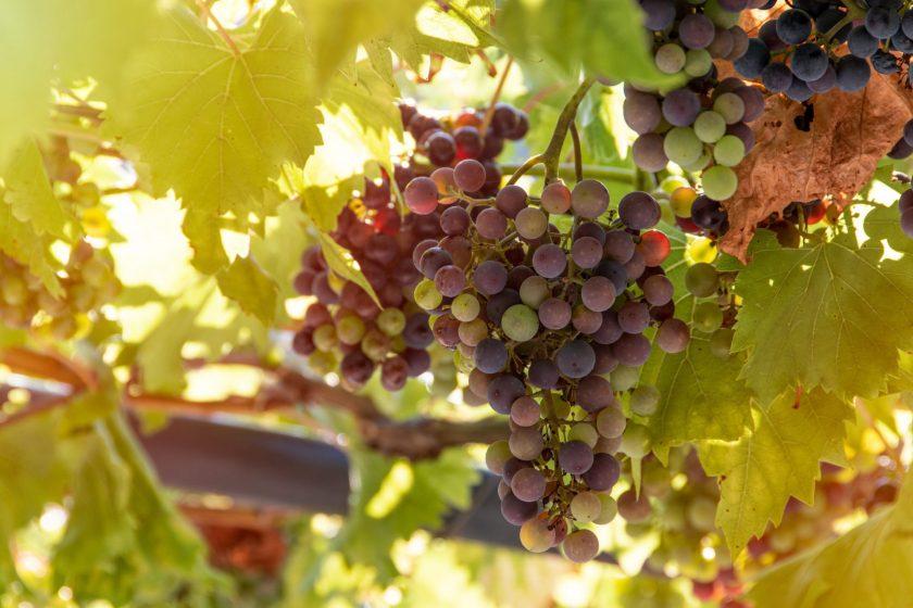bunch of grapes 4610050 840x560 - [Winna Szkoła] Co to jest wino?