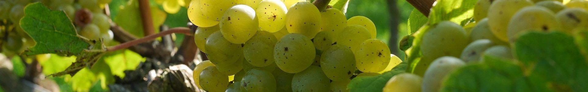 grapes 2104077 1920 1920x300 - Król Riesling – degustacja
