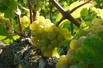 grapes 2104077 1920 360x240 - Król Riesling – degustacja