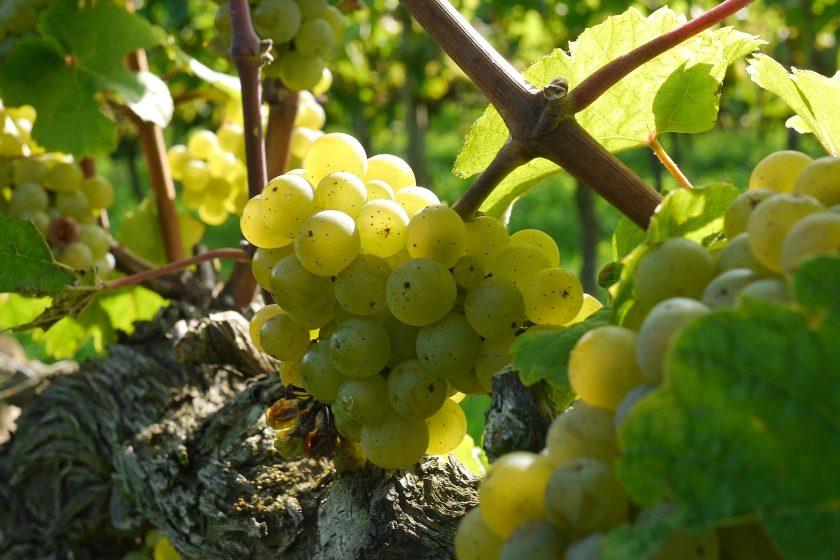 grapes 2104077 1920 840x560 - Król Riesling – degustacja