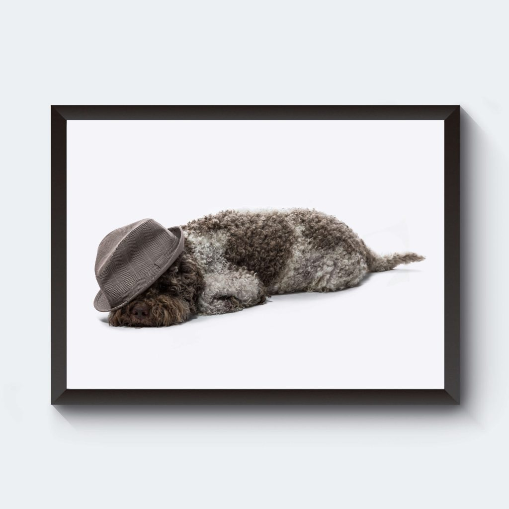 Trött hund lagotto som poster