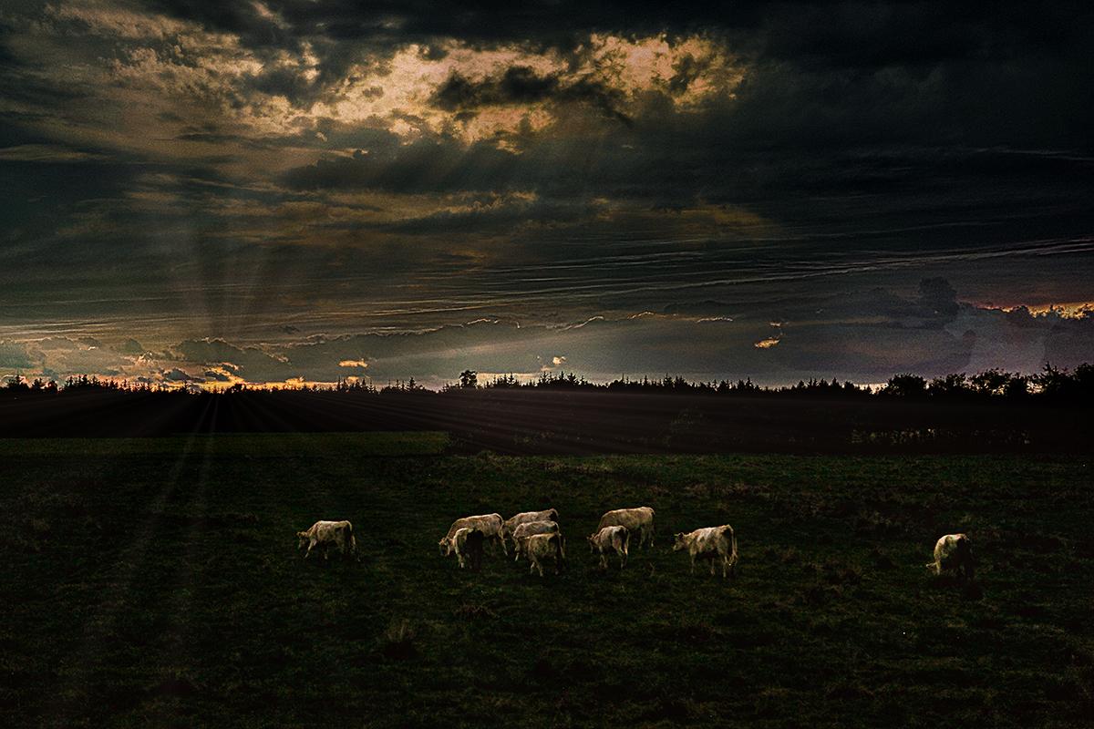 Kvægflok i solopgang