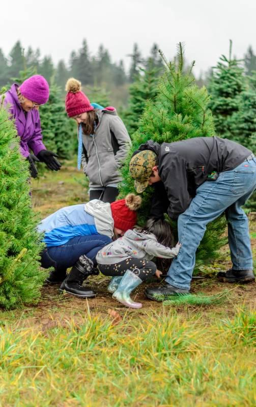 Famile fælder juletræ