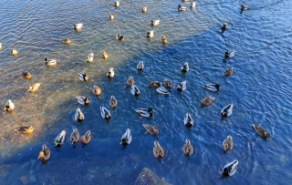 A flock of ducks in the early spring, finally able to swim in the ocean again