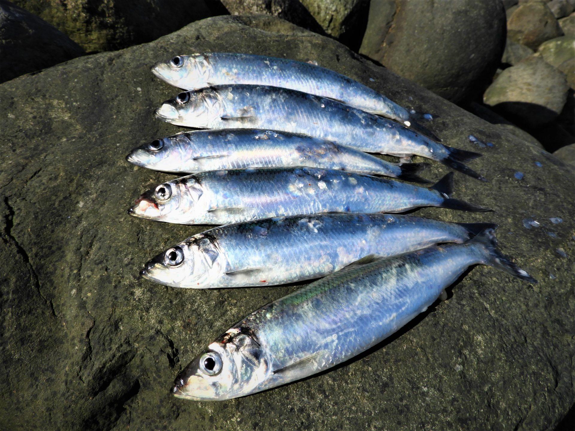 Sild i Limfjorden kan fanges flere steder. Læs om dem her.