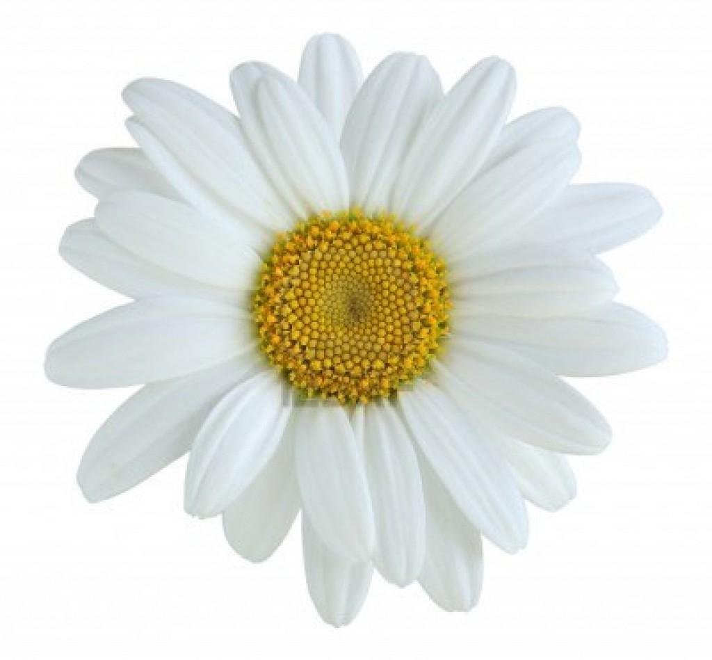 16568413-single-daisy-flower-isolated-on-white-background