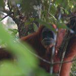orangutan in Gunung Leuser National Park. Photo by C. Hellemans