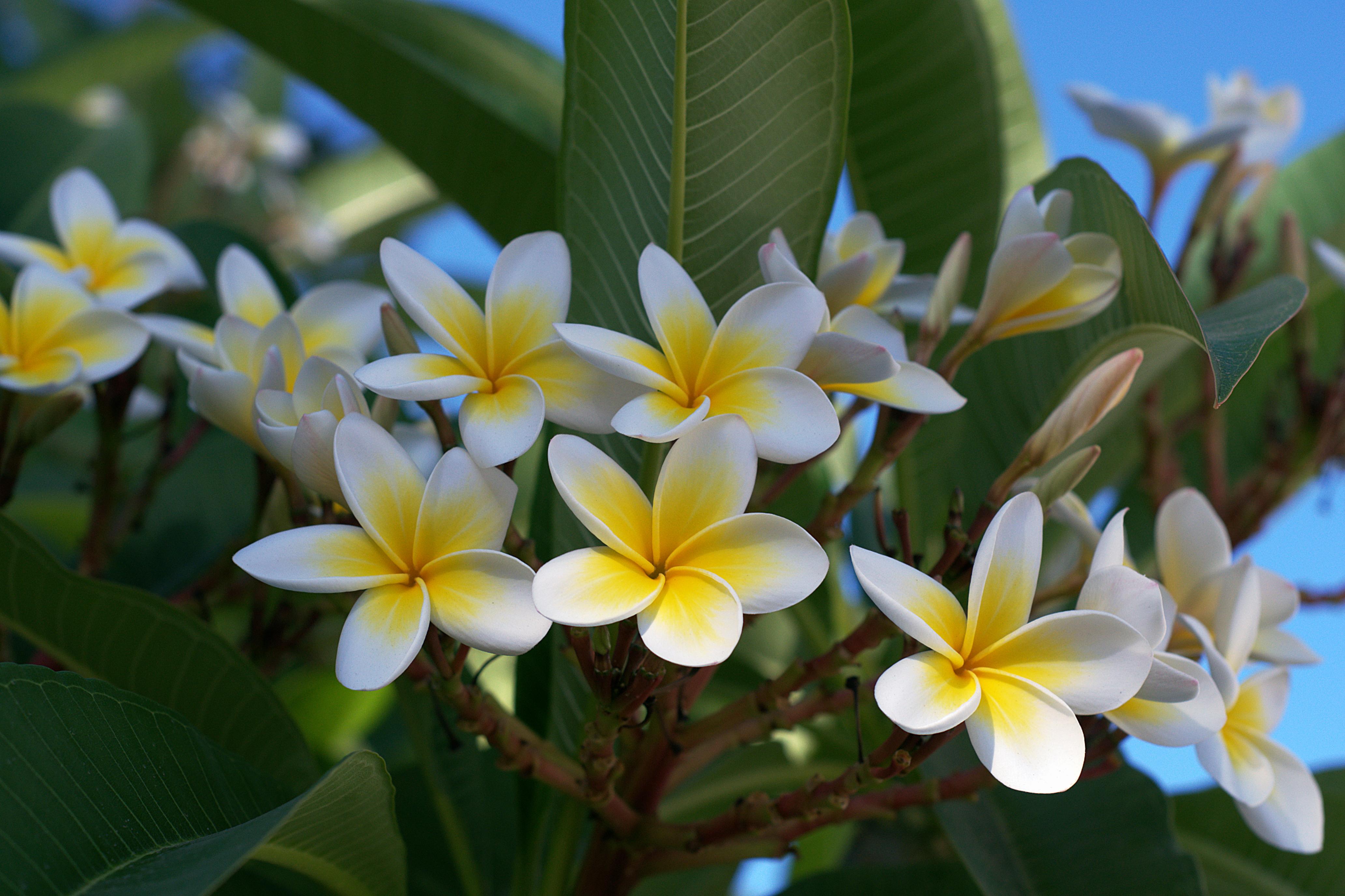 Frangipani – beautiful, fragrant and legendary!