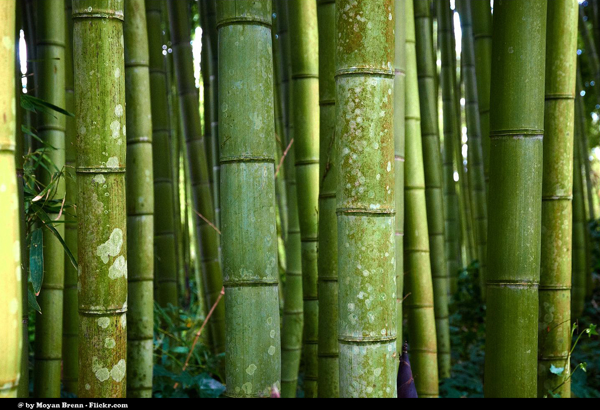 Bamboo: The Miracle Plant