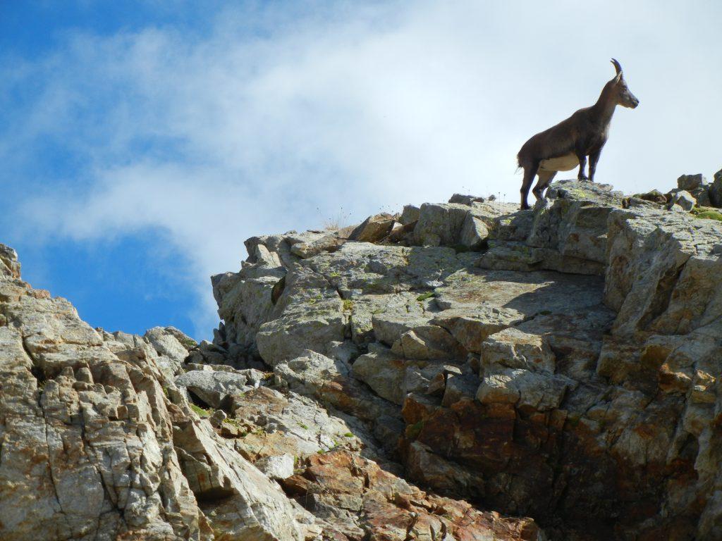 Steenbokken hebben de gewoonte om vanuit de hoogte op de wereld onder hen neer te kijken.