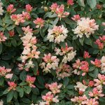 Rhododendron Golden Torch 11 mei 2017