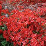 Rhododendron Stewartstonian 11 mei 2017