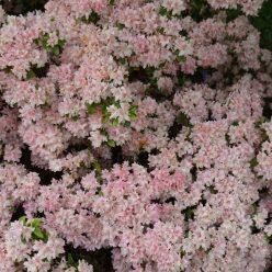 Rhododendron Yamato no tsuki 11 mei 2017