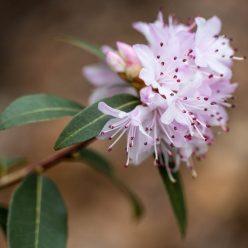 Rhododendron tatsienense 31 maart