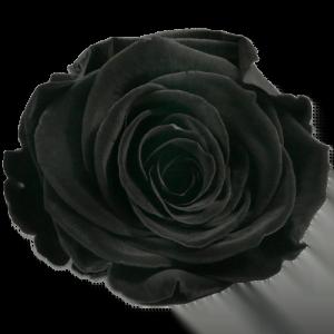 Mystique Rose | Millionbox.se