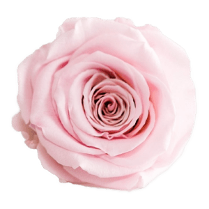 Pink Rose   Millionbox.se