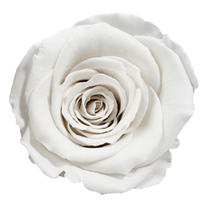 Snow Rose | Millionbox.se